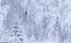 Lapinpöllö (mattisj) Tags: aves birds eläimet fåglar greatgreyowl kemi–tornionseutu lapinlääni lapinmaakunta lapinpöllö linnut pöllölinnut pöllöt raumojärvi strigidae strigiformes strixnebulosa suomi tornio vuodenajat talvi lappuggla