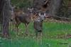 IMG_2899 whitetail does (starc283) Tags: starc283 flickr flicker nature naturesfinest wildlife whitetaildeer whitetail whitetaildeerdoe doe outdoors outdoor forest