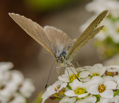 Grass blue butterfly (m&em2009) Tags: grass blue butterfly close up macro flower insect bug