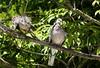 Spotted doves (Lesley A Butler) Tags: victoria summer royalbotanicgardens melbourne garden australia