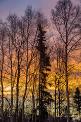 From my backdoor (Traylor Photography) Tags: alaska morning portrait birch storm backyard layers vertival trees anchorage sunrise colors spruce unitedstates us