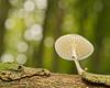 The crocodile and the porcelain fungus (Roland B43) Tags: mushroom fungus porcelain bokeh macro oudemansiellamucida
