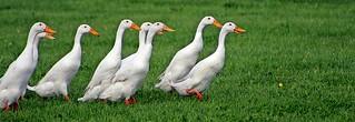 Duck Herding - Devon County Show - May 2017