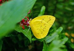 Orange Emigrant -- Catopsilia scylla cornelia (creaturesnapper) Tags: singapore butterflies lepidoptera asia pieridae catopsiliascyllacornelia orangeemigrant