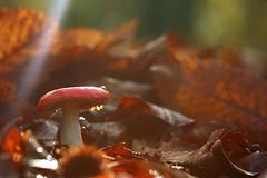 Beechwood sickener (Ron and Co.) Tags: beechwoodsickener russulamairei russula fungi fungus toadstool mushroom pink leaves autumn light rays horsfordwoods