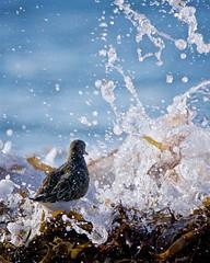 Stoïque (jf.cudennec) Tags: nature animal wildlife wild bird oiseau turnstone sea seaside seashore seaweed seabird seaspray waves ocean autumn fall canon tamron 150600 70d bretagne breizh finistère