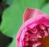 Lotus flower (Robyn Hooz) Tags: thai lotus flower fiore oriental thailand petali petals pink rosa beauty bellezza