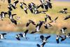 Lapwing - just taken flight (Gareth Keevil) Tags: birds december detail feather flock garethkeevil lapwing lowwintersun nikon nikon500mm nikond500 peewit sunshine telephoto uk wwtslimbridge wild winter