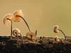 Miniaturpilze (renatus GH) Tags: pilze