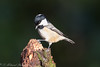 Coal Tit (Dougie Edmond) Tags: bird birds coal tits nature wildlife canon winter sunshine