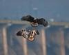Eagles squabble over small fish. (ftherit) Tags: bald eagles juvenile flight fight conowingo dam darlington maryland chesapeake bay susquehanna river fishing canon 1dx ii 600mm
