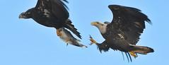 Bald Eagles - Aerial Duel Over Prey (kenyoung3) Tags: haliaeetusleucocephalus baldeagle prey birdsinflight foodfight boundarybaydeltabccanada birdsofprey eagles immature