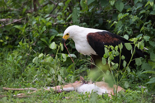 African fish eagle (Haliaeetus vocifer) feeding from a dead impala
