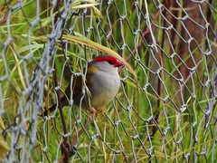 Red-Browed Firetail finch in Hillgrove NSW 26-Dec-2017 (magpie.cottage) Tags: birds birdwatching birdlife finches redbrowed firetail waxbill wildlife twitching animals newengland newsouthwales hillgrove