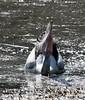 Australian Pelican (Pelecanus conspicillatus) (iainrmacaulay) Tags: bird australia australian pelican pelecanus conspicillatus