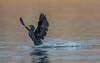 Water landing (hyu767) Tags: cormorant