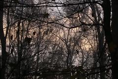 IMG_9556 (Bob90901) Tags: sunrise fog trees caumsettstatepark longisland newyork autumn morning fall rpg90901 canon 6d canonef70200mmf28lisiiusm canon70200f28lll sooc 2017 november 0709 landscape