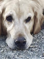 Bestie (Karon Elliott Edleson) Tags: golden goldenretriever 7dwf sundaysfauna canine mansbestfriend closeup