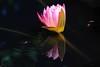 Water Bug's skating (Theresa Finley) Tags: waterbugs lilly pink reflections water ripples sunshine