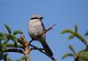 Tiny Terror (Cameron Darnell) Tags: canon tamron cameron 2017 summer bird birding shrike animal nome alaska nature june