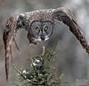 IMG_8305nx (4President) Tags: great gray owl saxzim bog minnesota