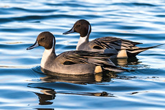 Northern Pintails (Anas acuta) (Chatham Sound) Tags: britishcolumbia canada 124 fauna migratory birds waterfowl dablingducks ladner norhernpintail pacificnorthwest ducks