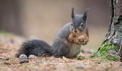 Just a Touch of Red (Chris Willis 10) Tags: redsquirrelsformby squirrel rodent animal nature mammal wildlife outdoors cute brown fluffy tree closeup fur forest animalsinthewild eating tail oneanimal looking bushy