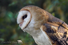 Owl Watch (PamsWildImages) Tags: bc bird britishcolumbia beautiful canada canon nature naturephotographer wildlife wildlifephotographer duck pamswildimages pammullins owl