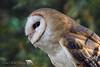 Owl Watch (PamsWildImages) Tags: bc bird britishcolumbia beautiful canada canon nature naturephotographer wildlife wildlifephotographer duck pamswildimages pammullins owl