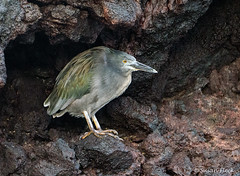 Heron_Lava_5707870 (suzifleck2) Tags: galapagos bird lava heron butorides sundevalli