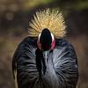 Do you like my crown? (Boomingecho) Tags: crownedcrane crane zoo sanantoniozoo