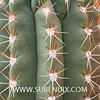 Pachycereus pringlei (SUBENUIX) Tags: cactaceae pachycereuspringlei suculentas subenuix subenuixcom planta suculent suculenta botanic botanical