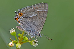 Favonius quercus - the Purple Hairstreak (BugsAlive) Tags: butterfly butterflies mariposa papillon farfalla schmetterling бабочка animal outdoor insects insect lepidoptera macro nature lycaenidae neozephyrusquercus purplehairstreak theclinae wildlife dorset alnersgorsenr liveinsects uk bugsalive