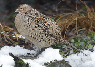 HEN PHEASANT...Not enjoying the snow.