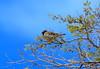 ROO_5354 (Capt. Remegio Ocmen Jr.) Tags: bird birds birdphotography birdlovers birdnature birdsaroundtheworld birdsoftheworld birdworld birdlife citybirds nature natural birdbrained feathers birdsflocktogether nikondslr nikonphotography nikonnature nikonlens nikonbirds nikoncamera nikondigital beautifulnature fowl colorful birdlover lovebird beautifulbird birdsphotography birdtags wildlife wildbirds beautifulnaturephotography naturelover birdwatching birding wildlifephotography birdwatcher nikonwildlife birdphotos animalphotography birdcapture