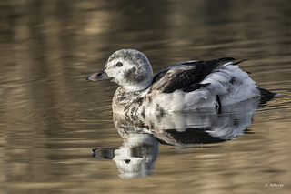 Long-tailed Duck / Harelde kakawi