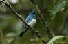 นกจับแมลงสีฟ้าท้องขาว / Zappy Flycatcher / Cyanoptila cyanomelana (bambusabird) Tags: bird flycatcher animal wildlife migration asia thailand chiangmai