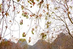 Chinese Tallowtrees 烏桕 (MelindaChan ^..^) Tags: chinese tallowtrees 烏桕 guilin china 桂林 autumn fall tree plant chanmelmel mel melinda melindachan curtain brach leaf leaves tallow triadicasebifera lijiang 烏桕灘 漓江chanmelmel branch