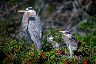 Great blue heron (Ardea herodias) with four week old chicks at Venice Audubon Rookery, Venice, Florida