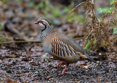 Red-legged Partridge ( Alctoris rufa ) (Dale Ayres) Tags: redlegged partridge alectoris rufa bird nature wildlife