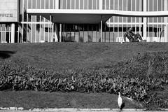 Museu de Arte da Pampulha (Johnny Photofucker) Tags: museudapampulha map belohorizonte minasgerais brasil brazil brasile mg bh preto branco black white bw pb garça garzetta heron lightroom museu museum museo nero bianco noiretblanc arquitetura architecture architettura paisagismo burlemarx 60mm