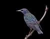Starling (Rattyman76) Tags: starling blackbackground d3s