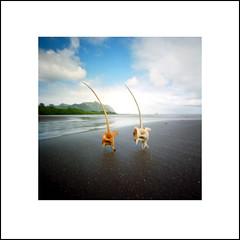 Dancing fishbones (art y fotos) Tags: lebambolemkxvi coffeepincam kodakektar100 flotsam beachcombing debris fishbones fish bones waiahole mokolii oahu hawaii homemade handmade bambole bamboo pinhole bamboopinholecamera mediumformat 6x6 120 film