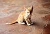 Le petit roux (Chamaloote & Fabrizio) Tags: chat chaton animal félin voyage roux orange vie tanzanie zanzibar