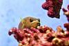 napuhača / pufferfish (Hrvoje Šašek) Tags: zoološkivrt zoologicalgarden portret portrait životinja animal croatia croazia kroatien hrvatska closeup zoo priroda nature zoološkivrtosijek osijekzoo osijek d810 riba fish voda water akvarij aquarium morskiakvarij seaaquarium marineaquarium napuhača pufferfish