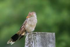 PIRINCHO (Sonia Carzino) Tags: perincho anú branco guira bird pájaro ave