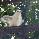 White tern chick flapping wings thumbnail