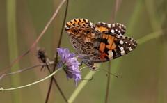 Primavera? (lincerosso) Tags: riscaldamentoglobale globalwarming farfalla butterflies vanessadelcardo vanessacardui ambiente futuro bellezza armonia