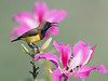 Olive-backed Sunbird (ChongBT) Tags: nature natural wild life wildlife animal avian bird adult male cinnyris jugularis olive backed sunbird