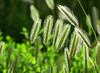 Sunlit Wild Grass (maytag97) Tags: maytag97 nikon d750 tamron 150600 150 600 wild closeup nature natural outdoor outside sunlight sunlit detail up close grass green backlit backlight back lit light fence plant dof depth morning macro
